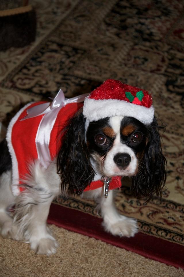 Cavalier in a Santa Suit