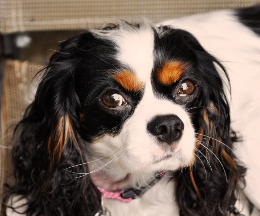 Sophie, Cavalier King Charles
